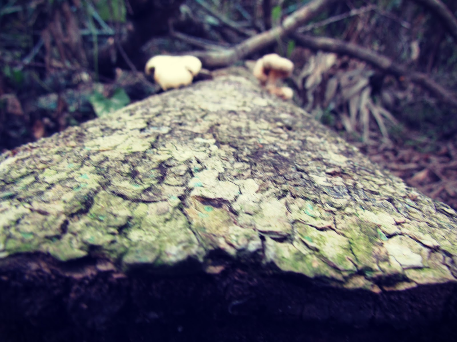 Forest Log Growing Edible Oyster Mushrooms in the Wet Rainforests of Florida Wildlife