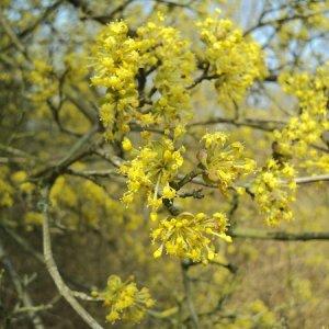 https://dammera.pl/pl/oferta/drzewka-i-krzewy-owocowe/pozostale-gatunki,44/deren-jadalny-cornus-mas,680