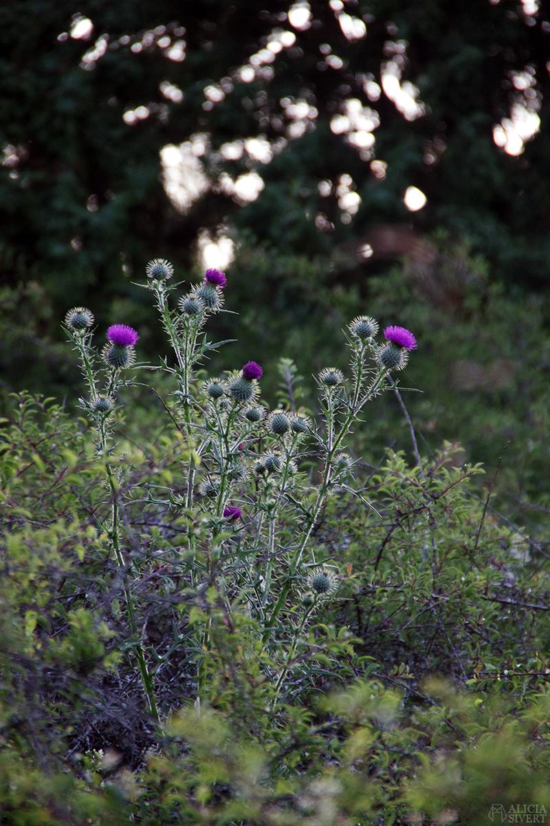 aliciasivert alicia sivertsson gotland blommor tistel