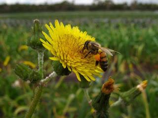 abelhas: principais polinizadores