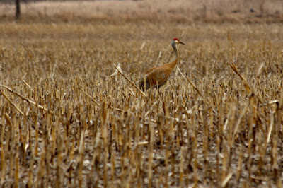 sandhill crane in chopped corn field