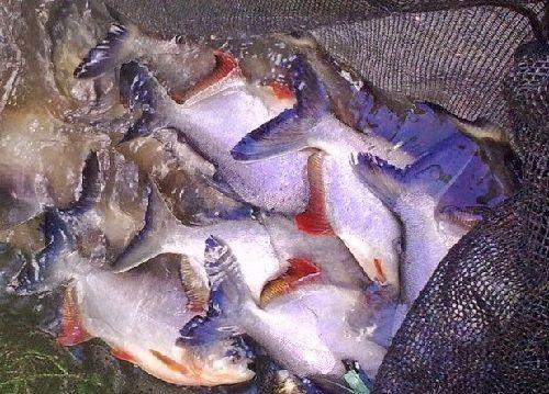 Hama dan Penyakit Ikan Bawal