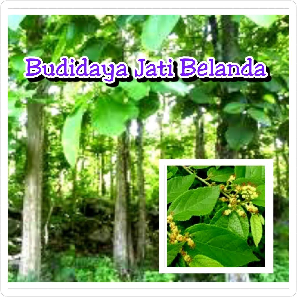 Nuansa Herbal Indie Budidaya Jati Belanda Gambar pohon jati belanda