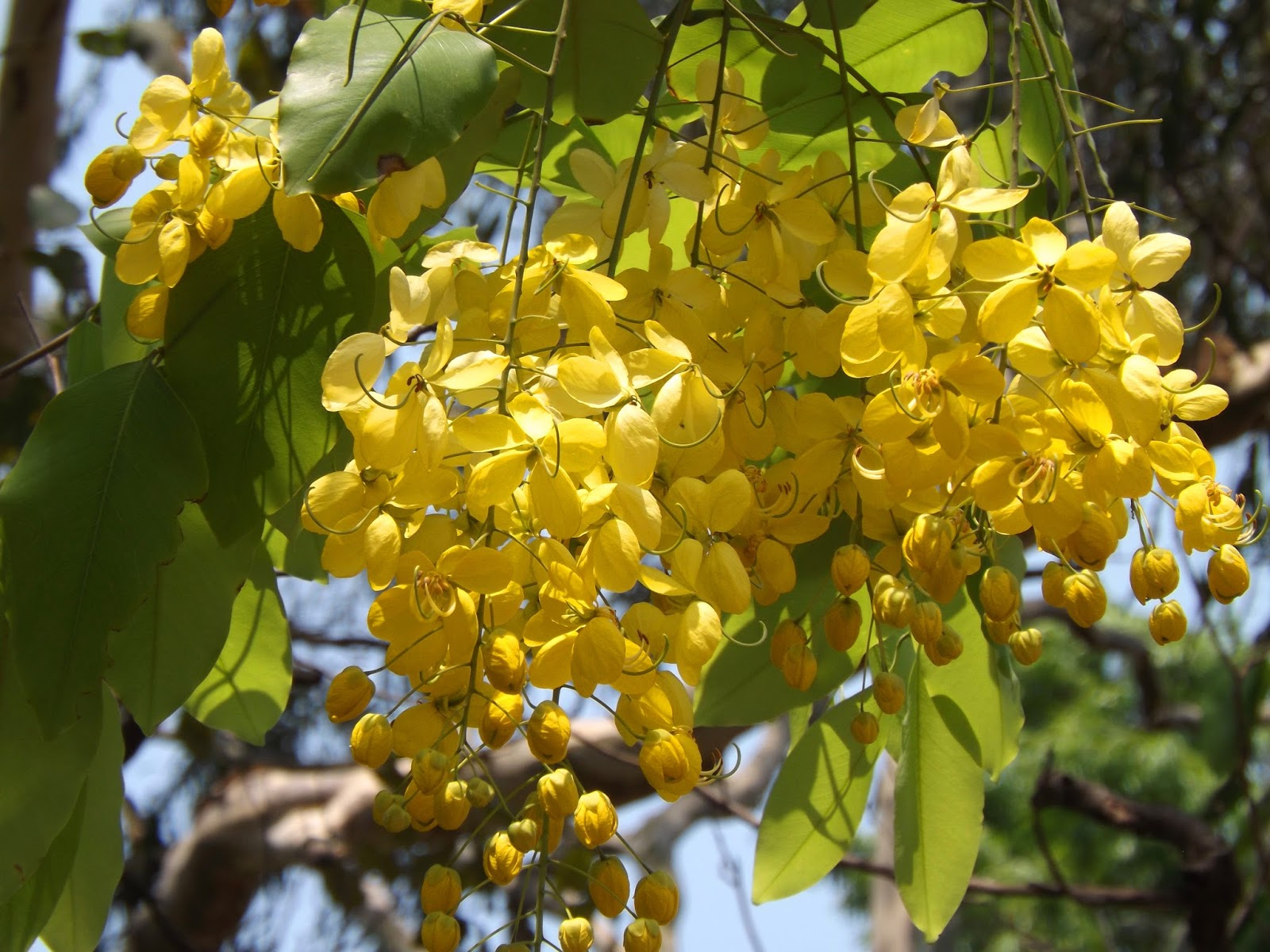 Shonalu golden shower tree cassia fistula flowers are yellow in pedunculate racemes 40 50 cm long flower is showy big 4 6 cm across flowering season is early summer april mightylinksfo