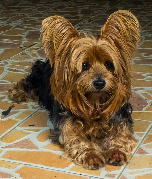 different yorkie breeds different breeds of dogs pictures of yorkshire terriers 1119