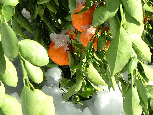 Mandarin orange plant growing in the snow