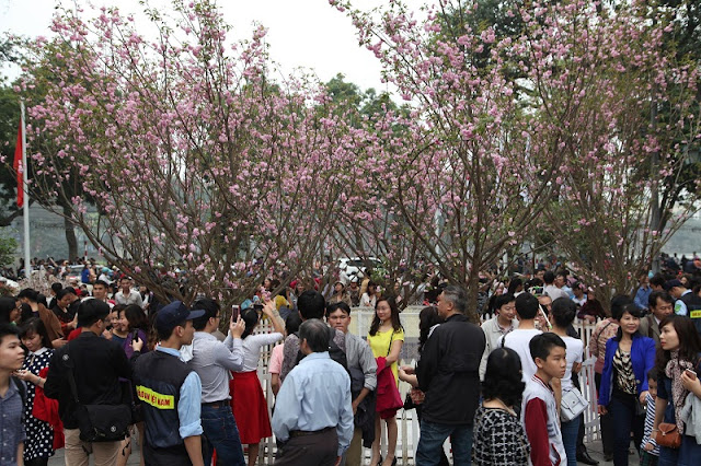 Cherry blossom festival underway in Hanoi 2