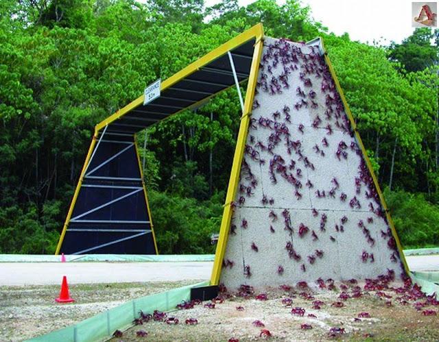 オーストラリアのクリスマス島にはカニ専用の橋がある?【n】 アカガニの大移