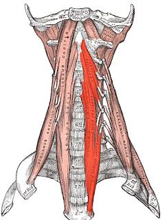 longus colli muscle,