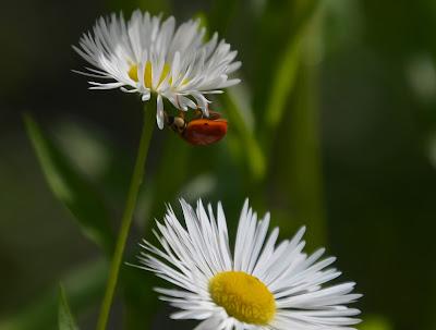 Marienkäfer, Ladybug, MARIGORRINGOA, Bubamara, Калинка, Lepatriinu, Leppäkerttu, Coccinelle, Πασχαλίτσα, Coccinella, Marieta, Bubamara, Mārīte, Biedronka,