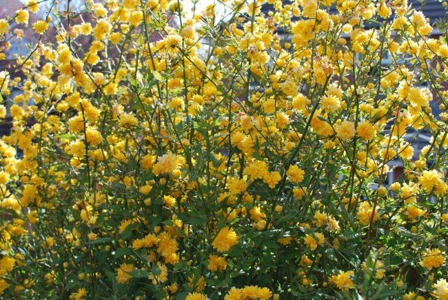 Mass of Yellow Flowers, Batchelor Buttons