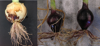 Composite photo of onions with pink roots. The plant on the left shows early season symptoms and the photo on the right shows late season symptoms.