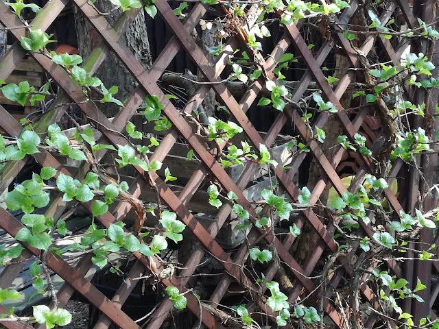 hortensja pnąca wiosną