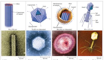 berbagai struktur virus
