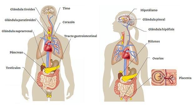 Higiene del Sistema Endocrino