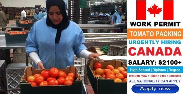 Tomato Picker Job Vacancies In Canada | Apply Here
