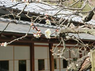 浄妙寺の梅