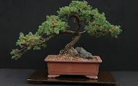 juniper bonsai indoor care