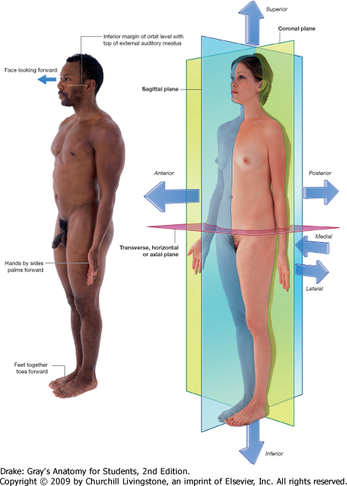 The Body According to Gray\u0027s anatomy