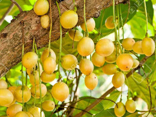 burmese grape fruit image