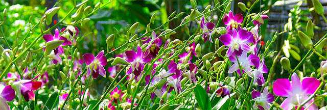 Thailand  orchid nursery with Dendrobium
