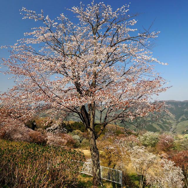 秩父 皆野 美の山公園 桜