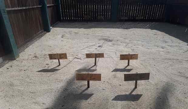 Penetasan Penyu di Tongaci