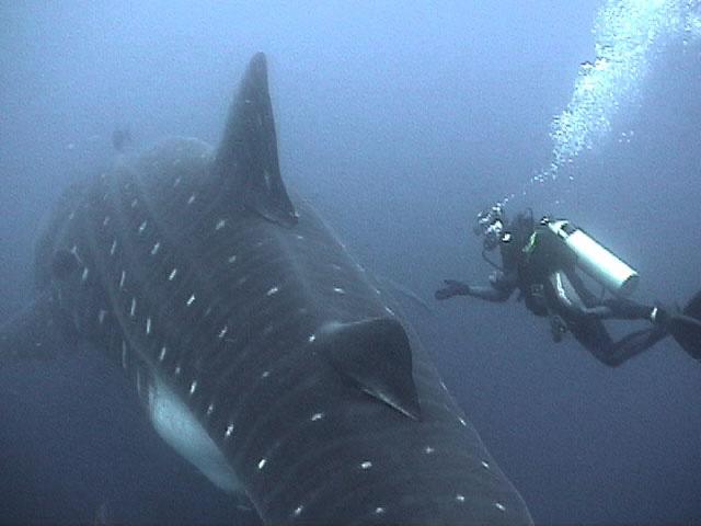 largest whale shark - photo #7