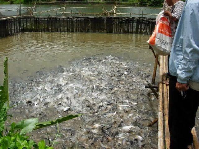 Pembesaran Ikan Patin