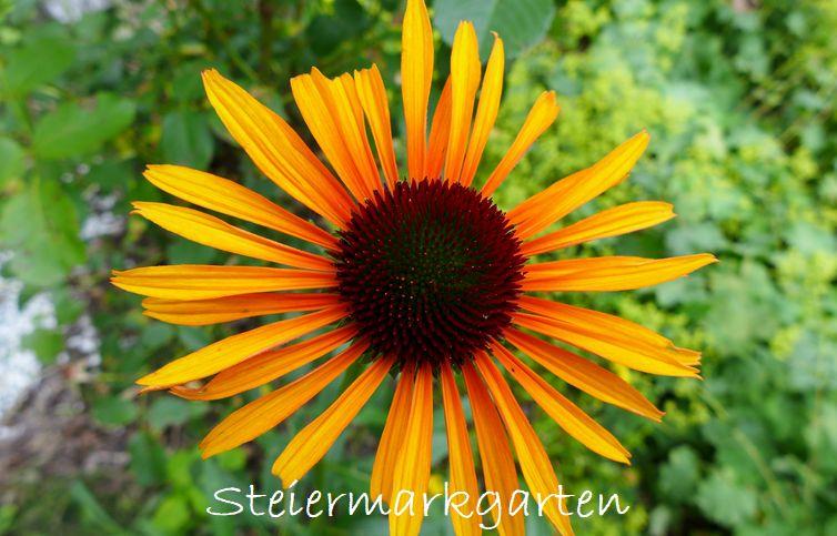 Sonnenhut-Steiermarkgarten