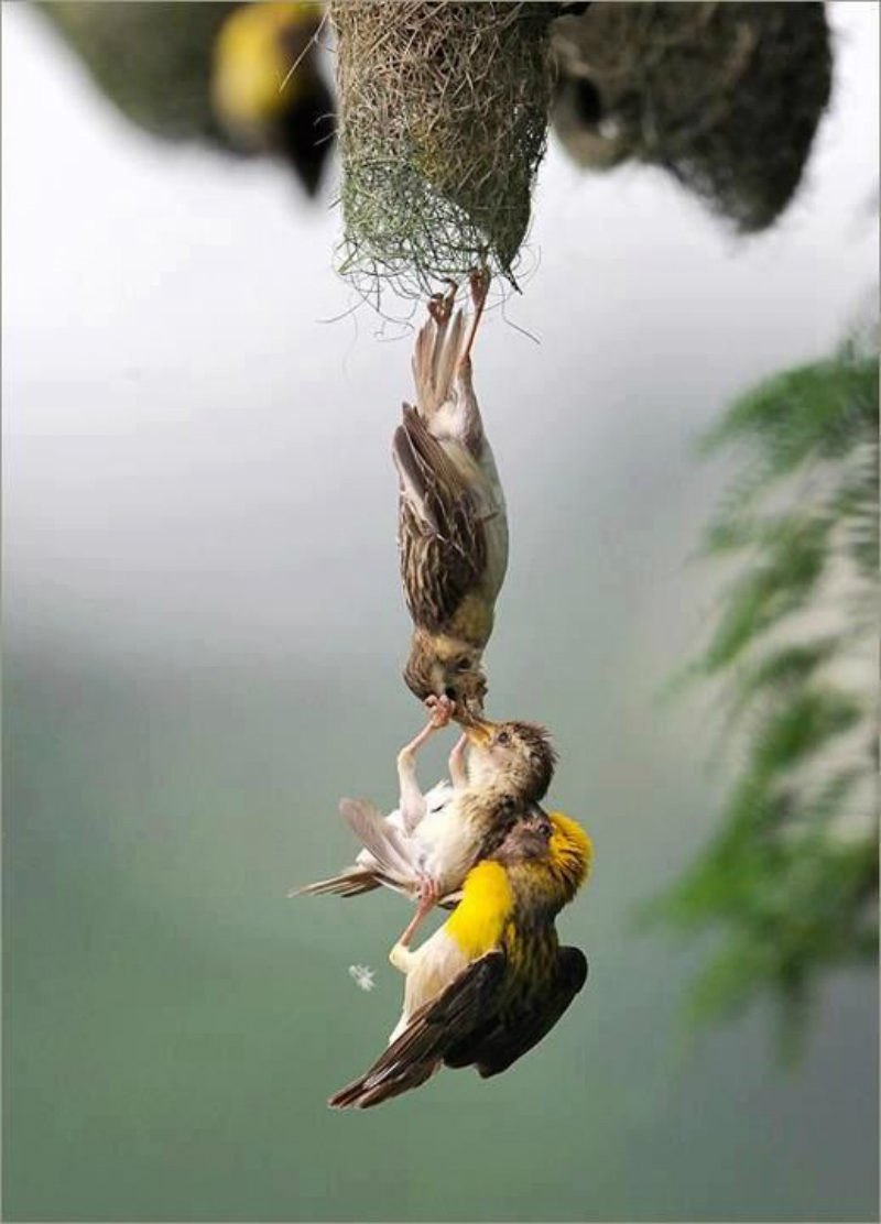 Baby Bird being saved after falling from the Nest
