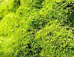 Reproduksi Tumbuhan Lumut (Bryophyta)