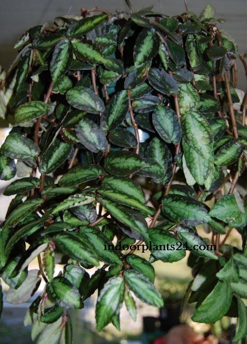 Trailing Watermelon Begonia - Pellionia repens plant