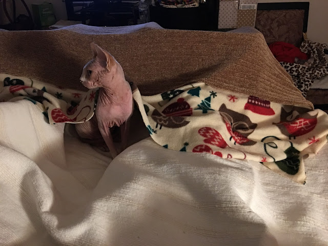 Sphynx cat YaYa peaking out from under a blanket