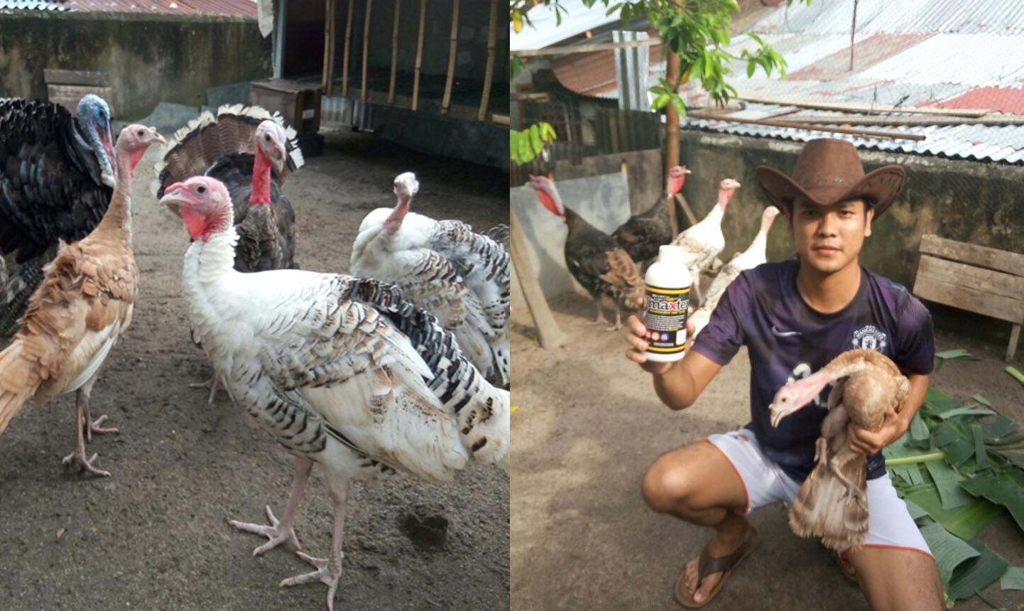 Testimoni Ayam Kalkun dengan Bio Maxter, Mas Angga Pekanbaru Riau