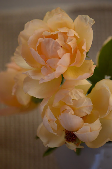 "rose ""Wollerton Old Hall"", Monday vase meme, small sunny garden, desert garden, amy myers photography"