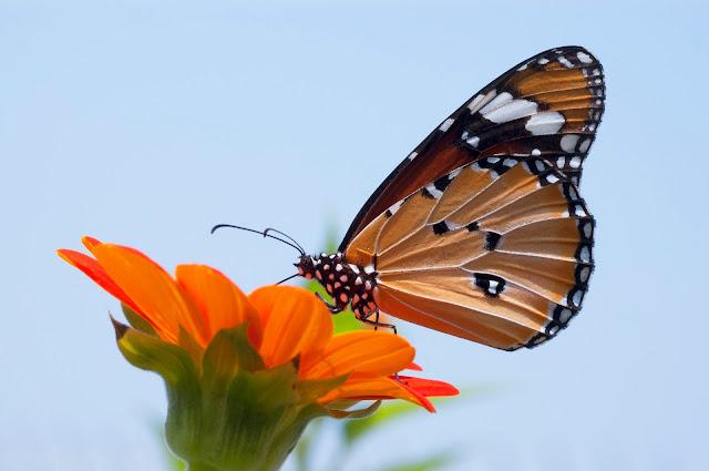 Mal clima atrasó llegada de mariposas Monarcas