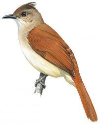 Euptilotus eutilotus