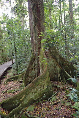 Unique tropical forest tree in Lamington National Park