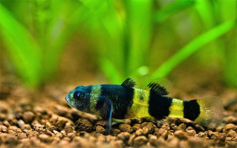 cá bống mắt tre sống khỏe trong hồ thủy sinh