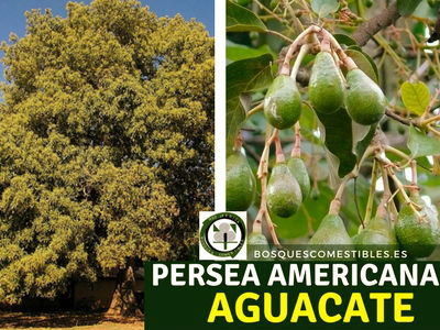 Persea americana, Aguacate, es un árbol frutal que puede alcanzar grandes dimensiones. Algunos ejemplares pueden llegar a producir cientos de kilos de esta deliciosa fruta