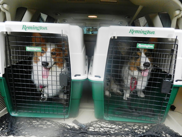 two corgis in crates in the black of a car