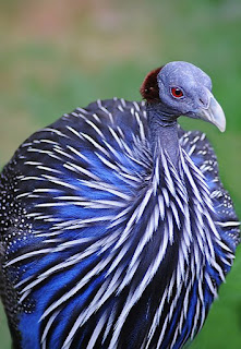 Ayam Mutiara Purple (Royal Purple Guinea Fowl)