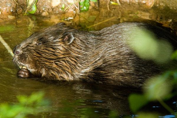 Devon wildlife Trust European Beaver - Photo copyright Ben Lee