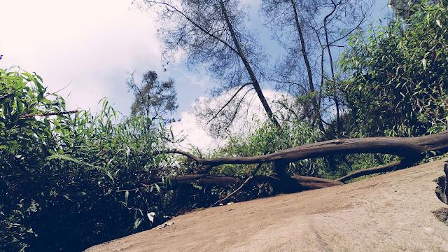 Pohon Roboh di Jalur Pendakian Gunung Semeru