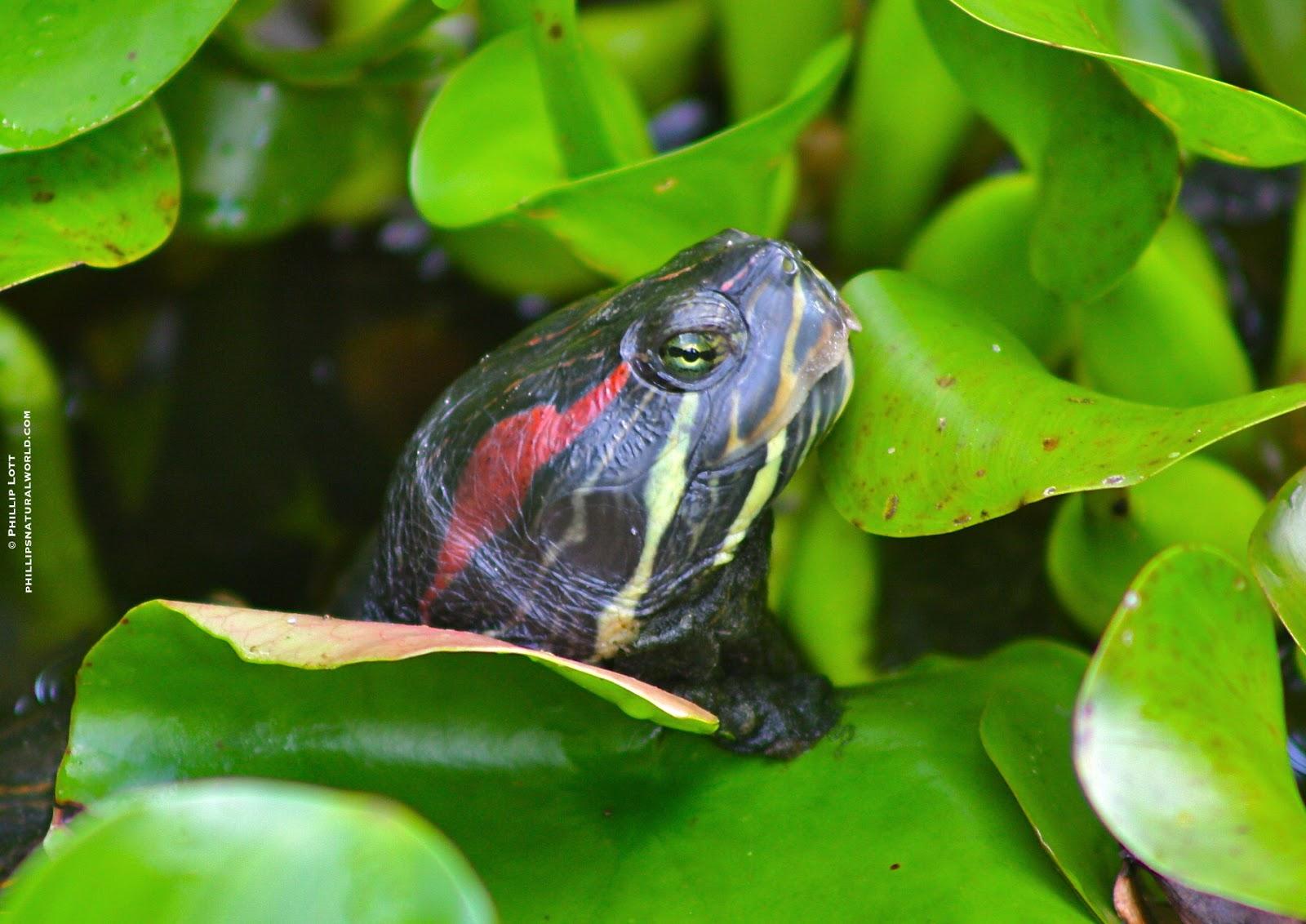 Turtle Rescue   Phillip's Natural World 1 0 2