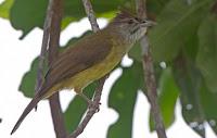 Burung Palawan Bulbul