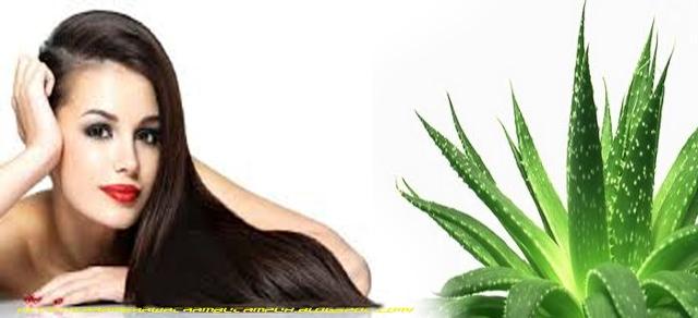 Manfaat Aloe Vera Untuk Rambut