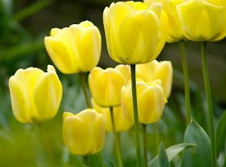 Gambar Bunga Tulip Cantik 1