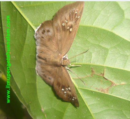 Kupu-kupu sayap coklat dan sayapnya mirip bulu ulat